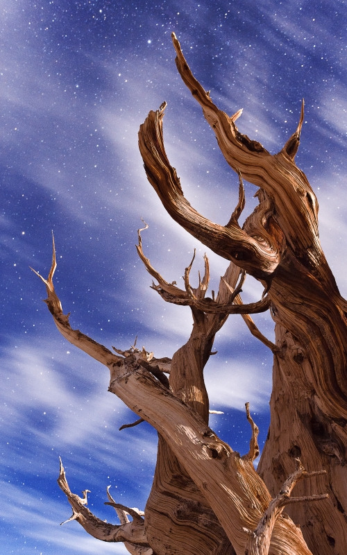 Bristlecone With Clouds