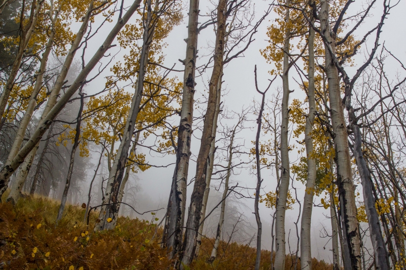 Towering Aspens In Fog