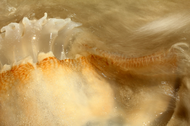 Cannonball Jellyfish And Wave