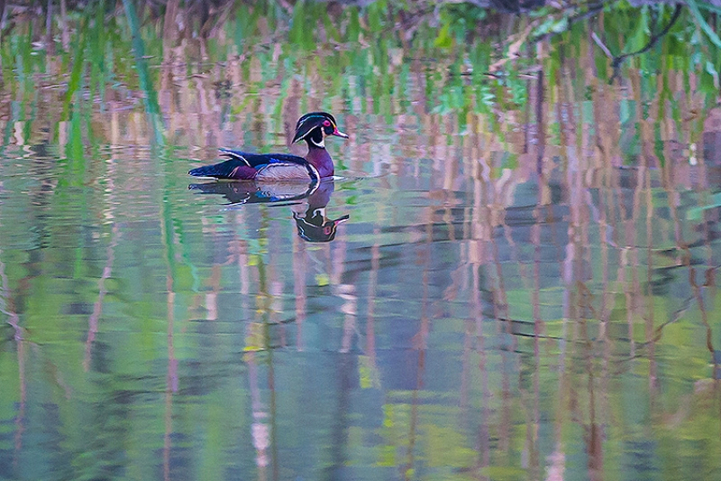 Wood Duck @ Cuyahoga Valley National Park