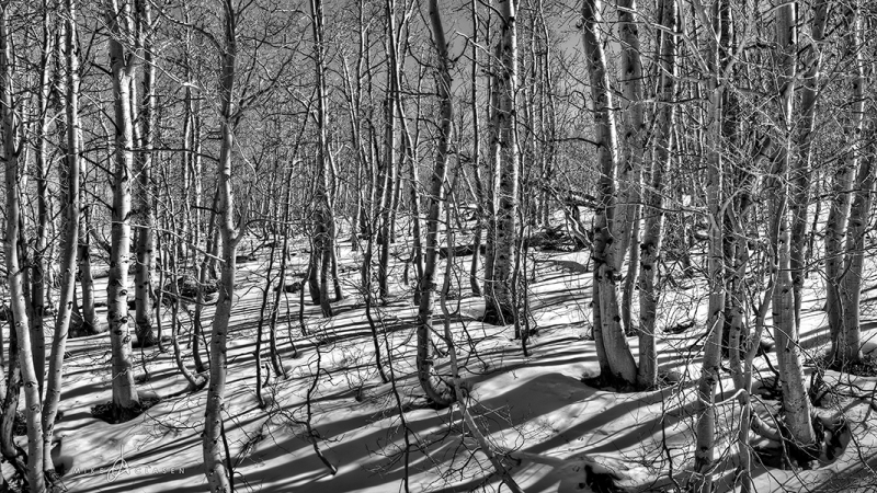 Winter Aspen Shadows