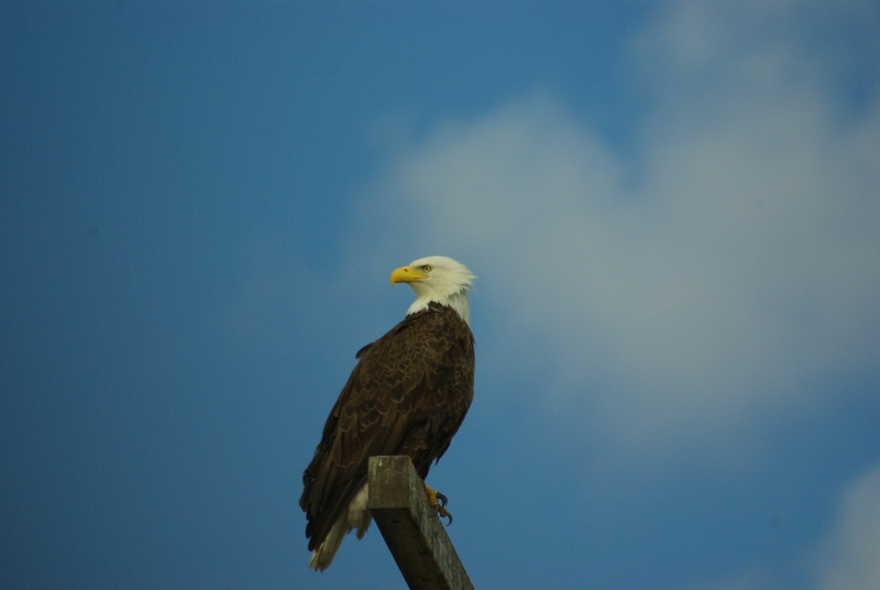 Another Eagle