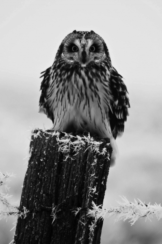 Short-Eared Owl Stare Down