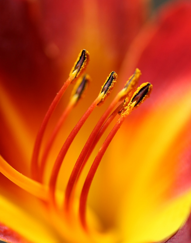 Day Lilly Macro
