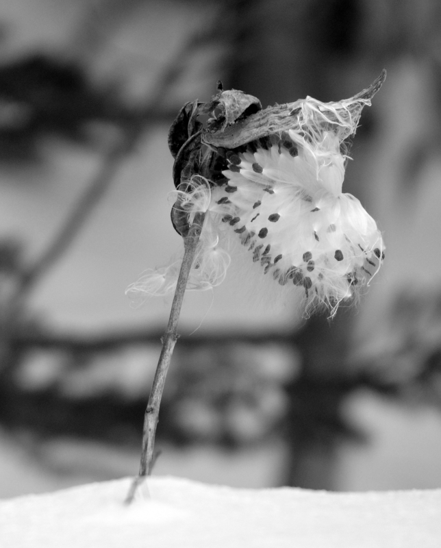 Freezing Milkweed