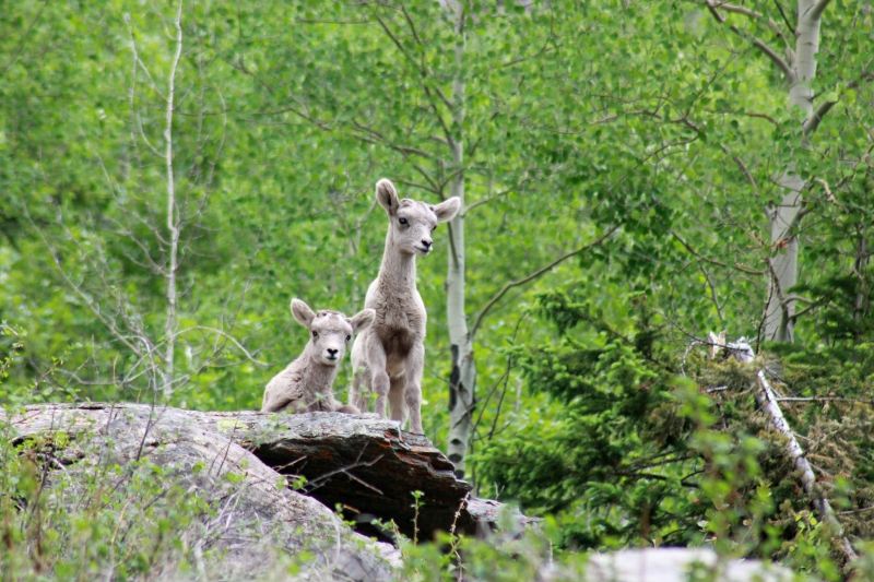 Inquisitive Mountain Sheep Lambs