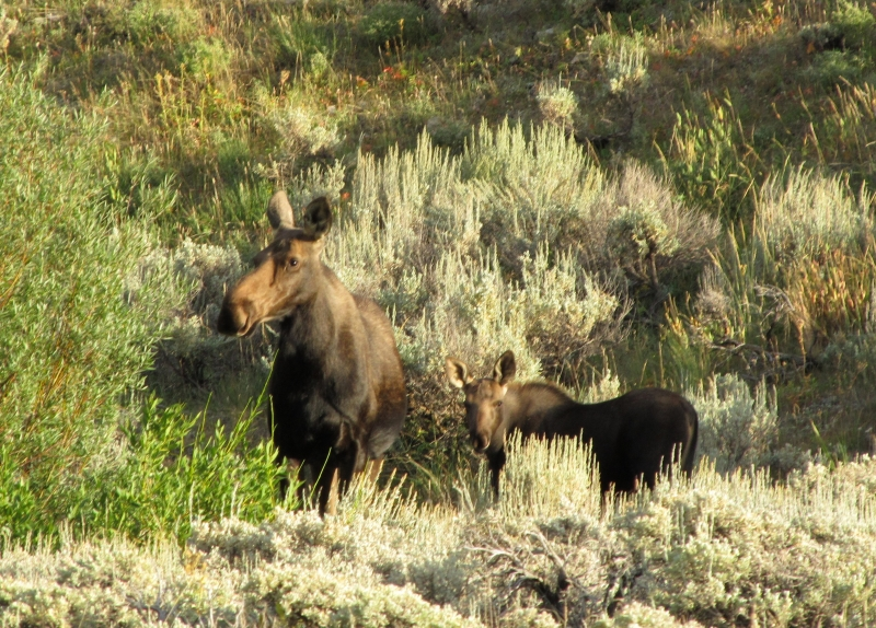 Calf And Mother Moose