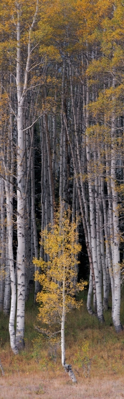 Young Aspen, Wasatch Mountains, Utah