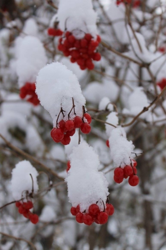Highbush Berries In Snow