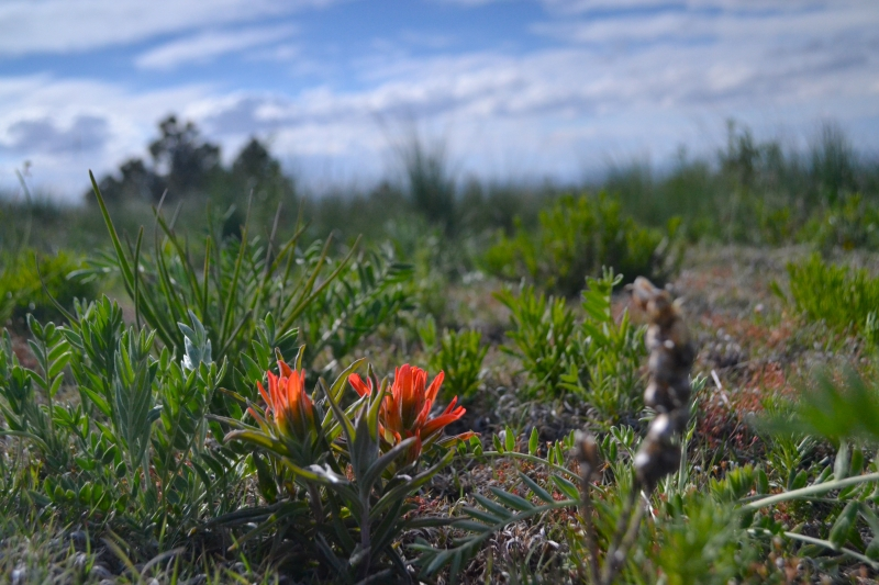 Paintbrush In The White Mountain Wilderness