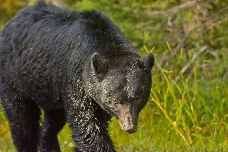 Black Grizzly Walking Through The Grasses