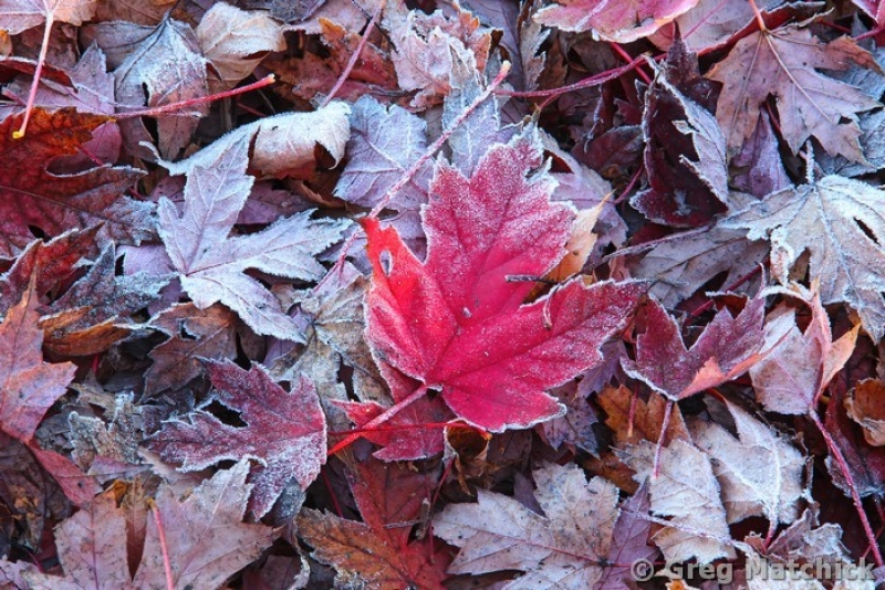Red Maple Leaf In Frost