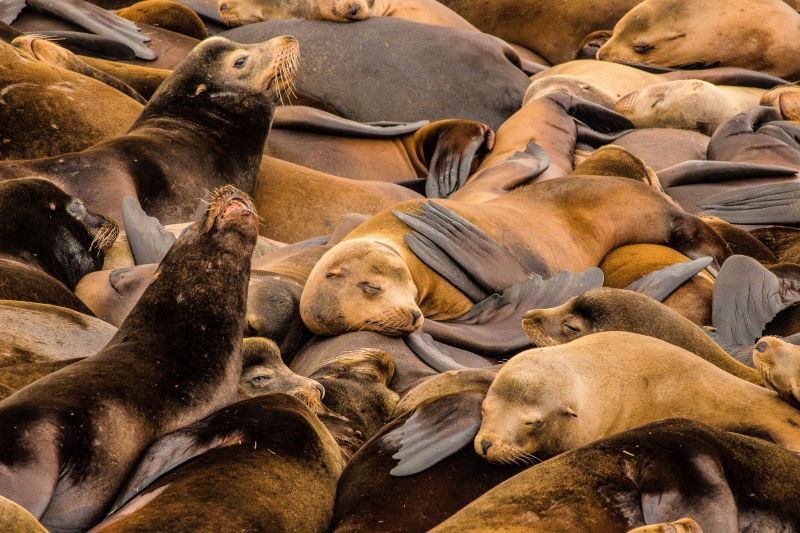 Gathering Of Sea Lions