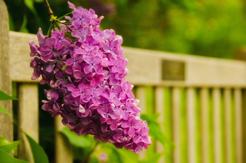 Park Bench With Lilac