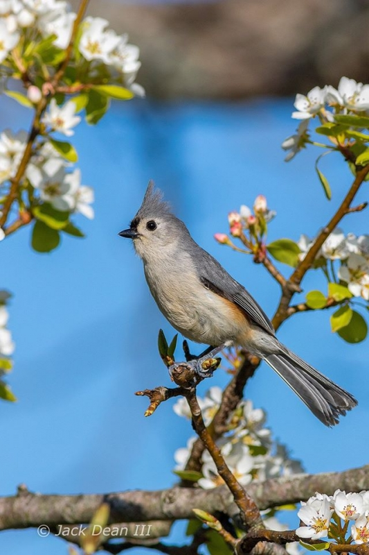 Tufted Titmouse Perched In A Pear Tree.