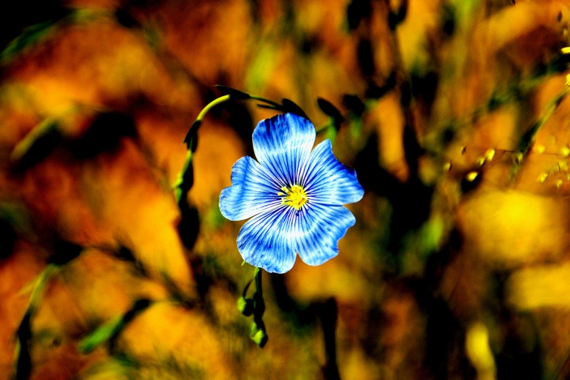 Wild Blue Flax In Bloom