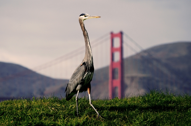 Great Blue Heron Walking In Front Of Golden Gate Bridge