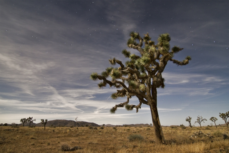 Joshua Tree Shooting Star