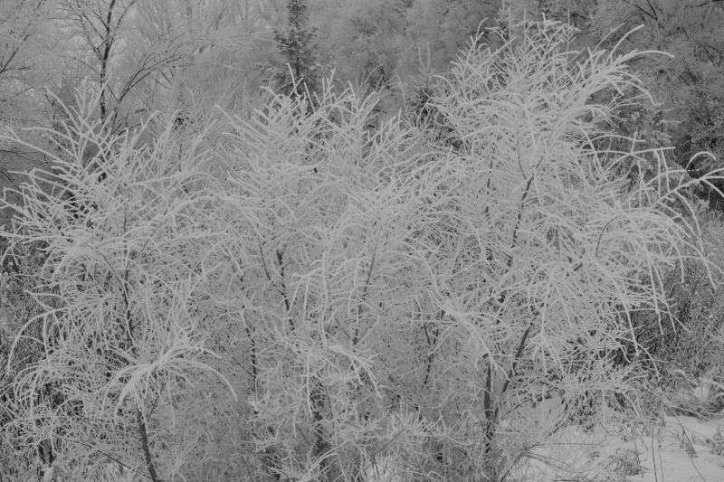 Frosted Bush