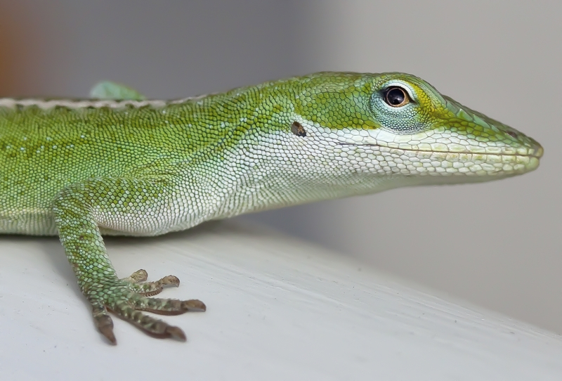 Carolina Anole Lizard