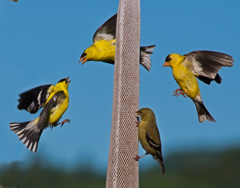 American Goldfinch Social Dynamics