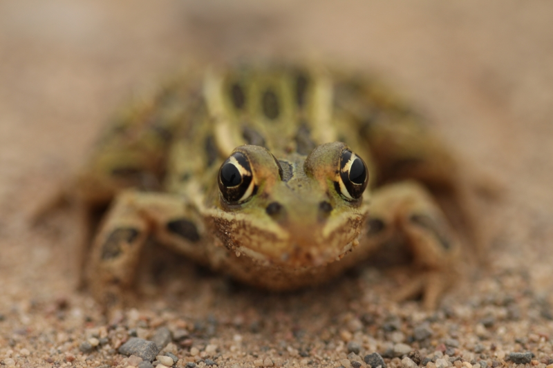 Frogs Eyes