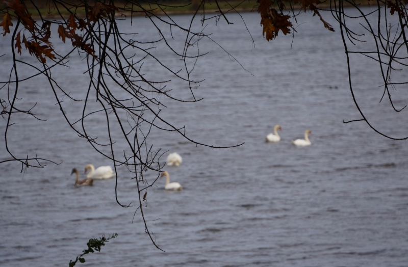 Swans Are Getting Together