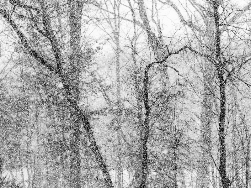 Bare Trees In Snowstorm