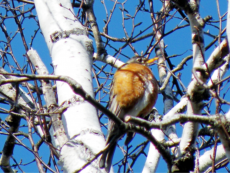 Robin In Birch Tree