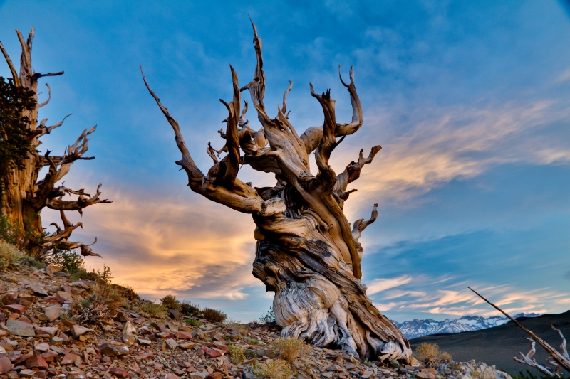 Bristlecone Beauty