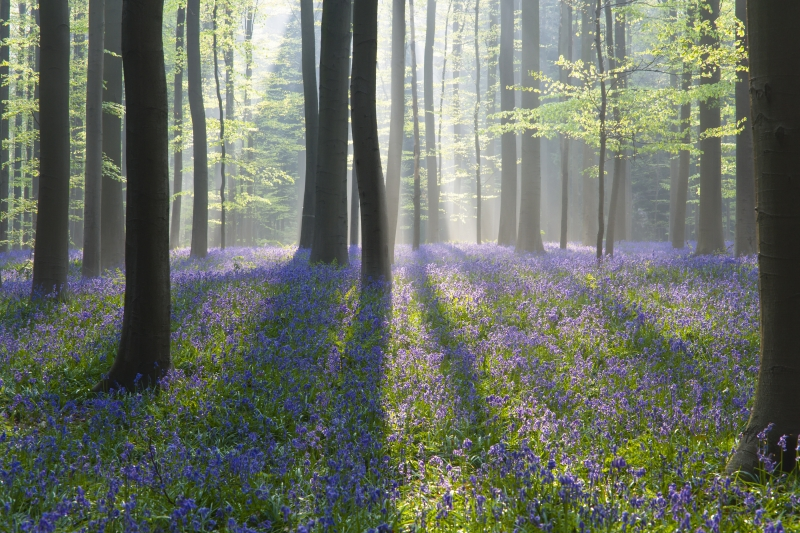 The Beautifull Hallerbos