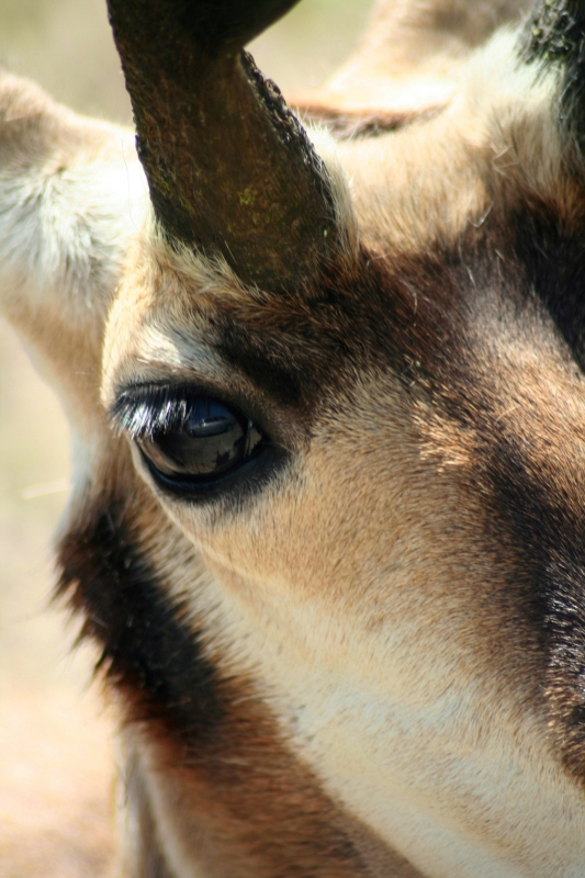 Eyeball To Eyeball With A Pronghorn
