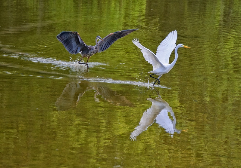 Blue Heron Chasing Great White Heron