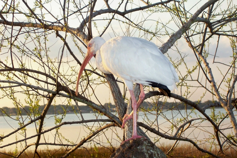 White Ibis In A Tree.