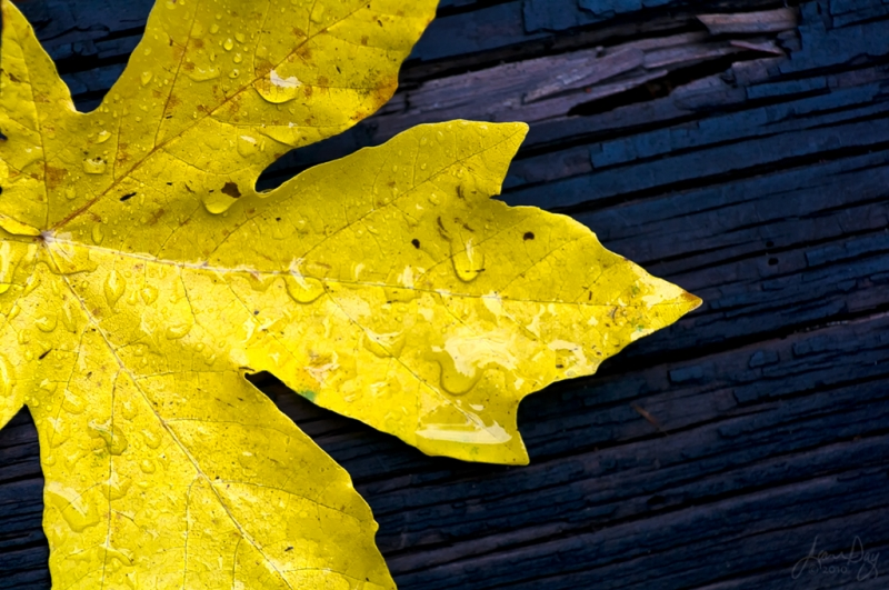 Rainy Day Maple Leaf
