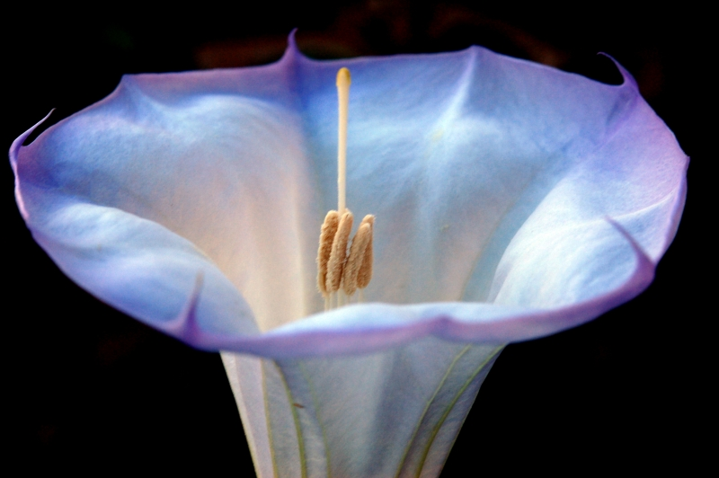 White Desert Beauty  –  Sacred Datura