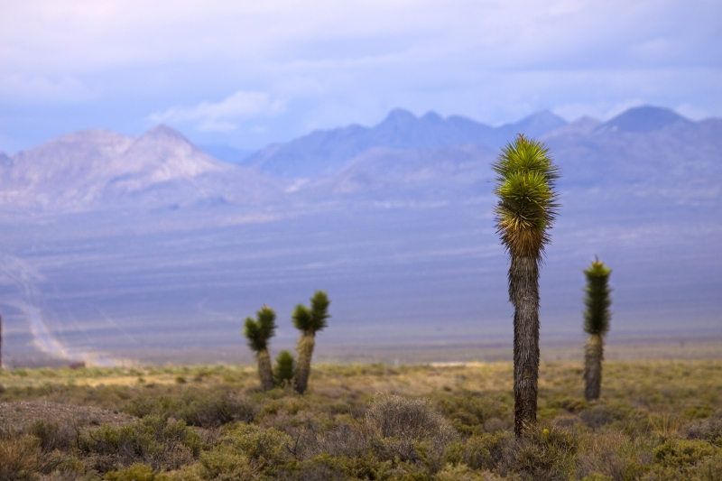 Joshua Trees In The Nevada Desert