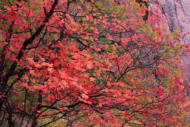Red Tree In Zion