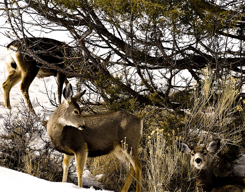 Mule Deer Group Late Winter