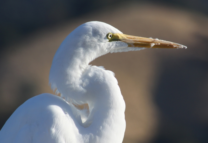 Egret At Lake Hennessey
