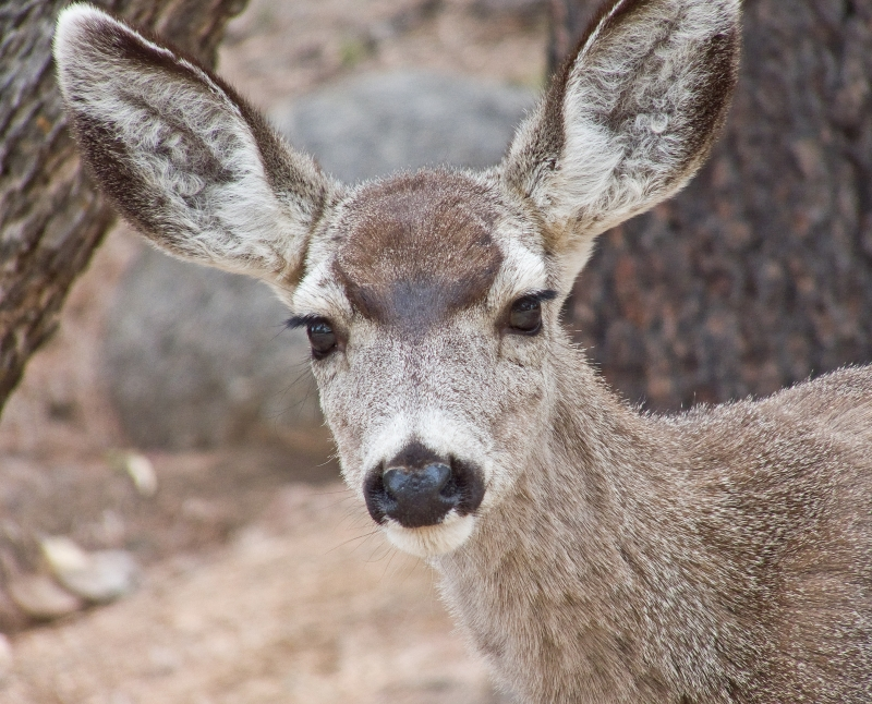 Yearling Mule Deer Doe