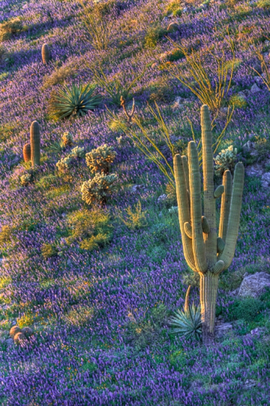 Lupine Hillside With Saguaro
