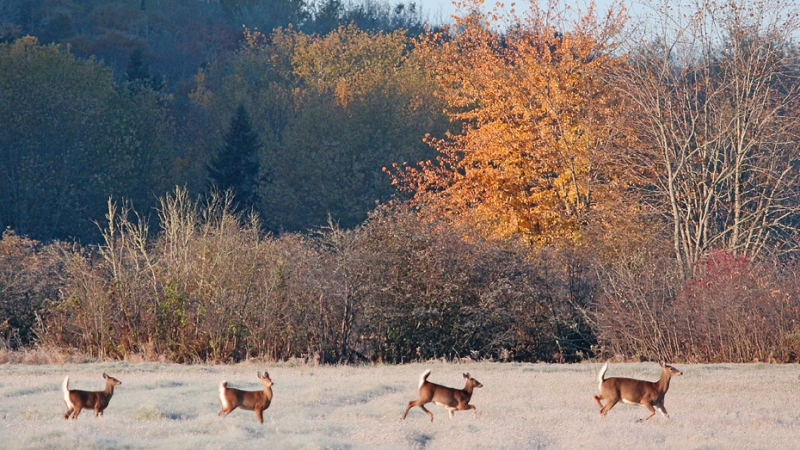 Fawns At Dawn