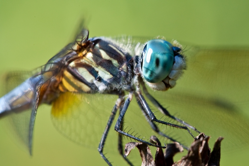 Blue Dasher Side View