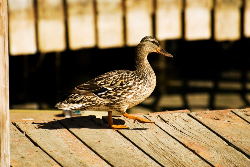 Duck On The Dock