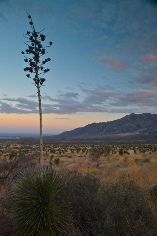 Soaptree Yucca At Sunset Near The Organ Mountains