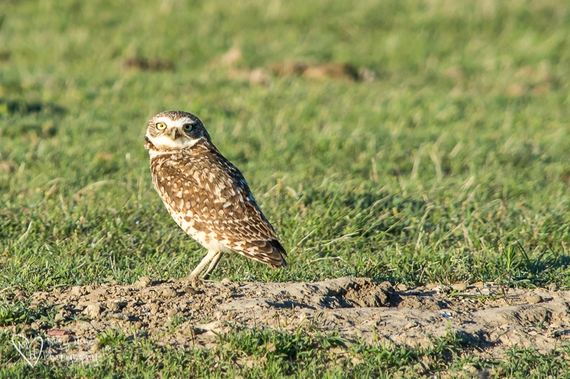 Burrowing Owl In The Badlands
