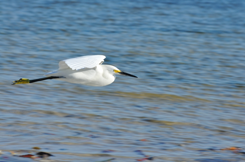 Snowy Egret Flying Over Water