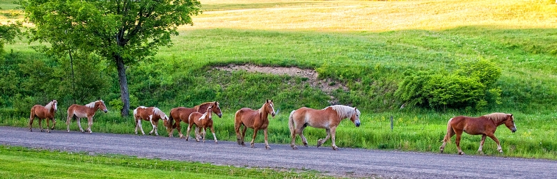 Horses Strolling Down The Road