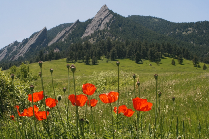 Flat Irons And Poppies